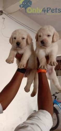 lab female puppy available for sale
