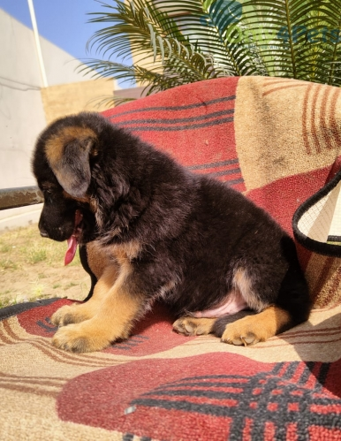 Gsd male pup available