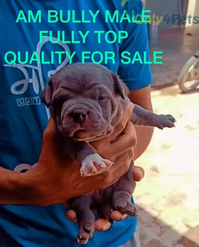 AM BULLY FOR SALE