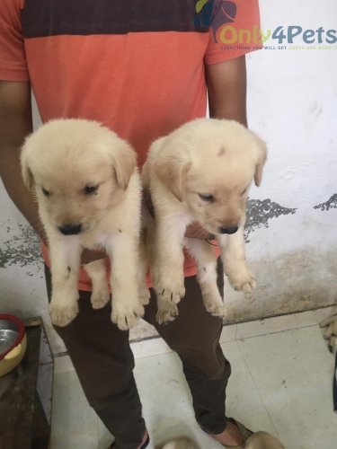for sale lab lot 6 female 1 male