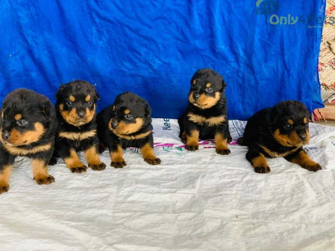 ROTTWILER MALE as FEMALE  available for sale