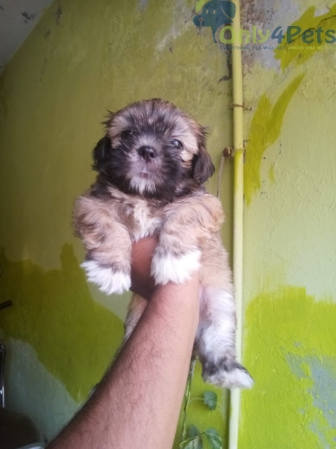 Lhasa apso female puppy Available