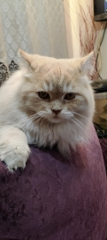 Persian and siberian mixed breed male kitten 9 months old
