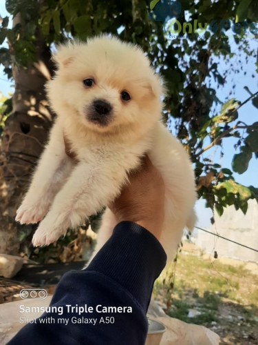pom for sale