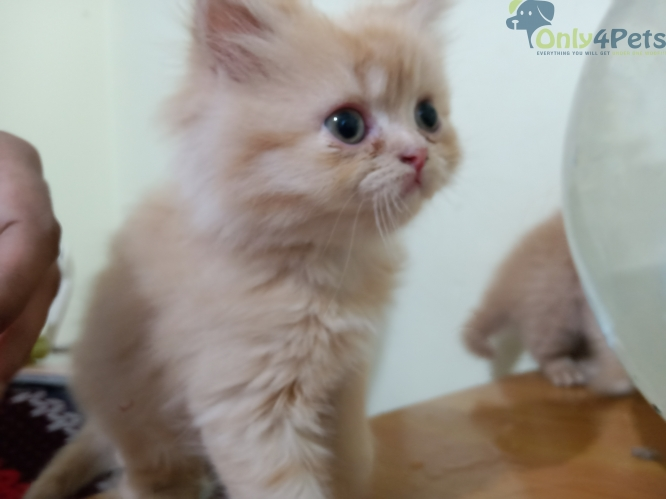 Persian kitten double bond eye color