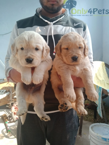 Golden Retriver male puppy For Sale... top quality ..