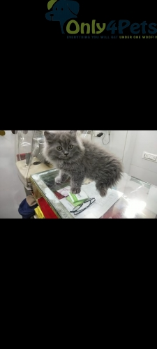 Persian Kittens For Sale????