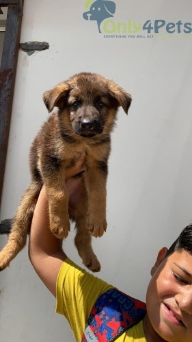 Top Quality Long coat GSD female puppy