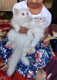 doll face Persian cat male and female