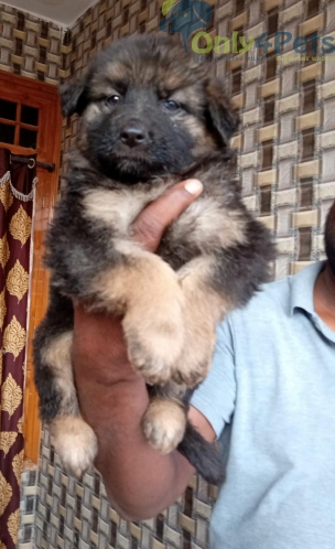 Gsd For Sale
