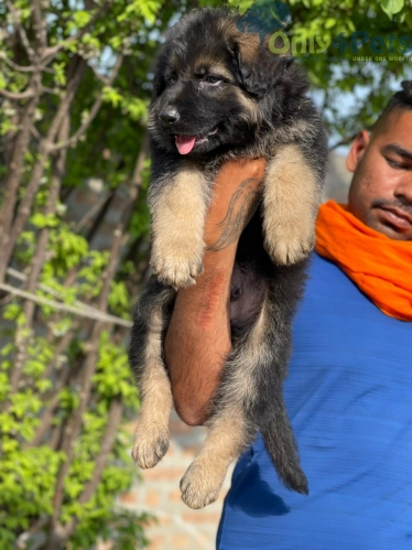 Gsd long coat male pup available