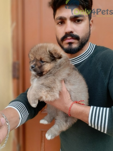 QUALITY RED CULTURE POM MALE PUP FOR SALE