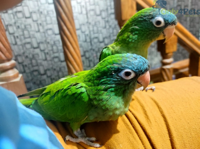 Blue crown self chicks fully tamed. for sale