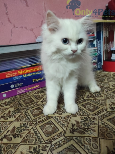 blue eyes white persian cat male