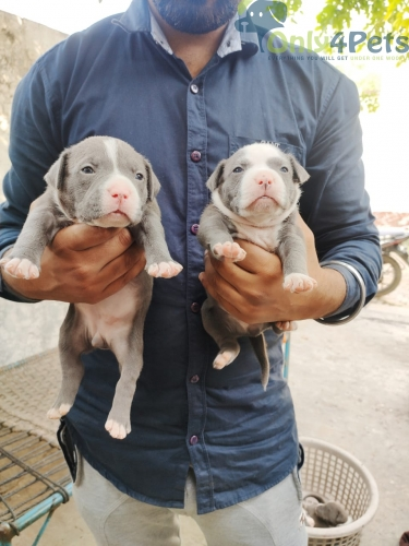 American bully  .  Pokit size    Pair 4 available