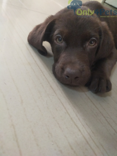 Labrador Puppy Chocolate Brown Colour Male Available For Sale