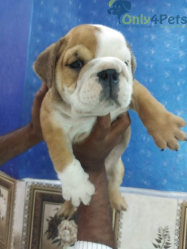 English bull dog with 1 vaccination done with kci  for sale