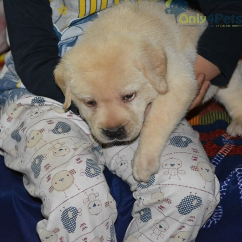 Labrador with kci male puppy available