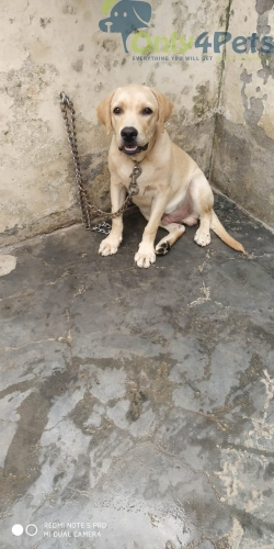 Gud quality lab Male available