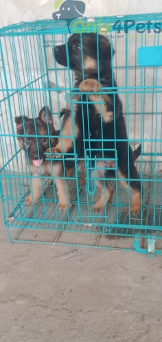 Double coat 1 male 2 female for sale