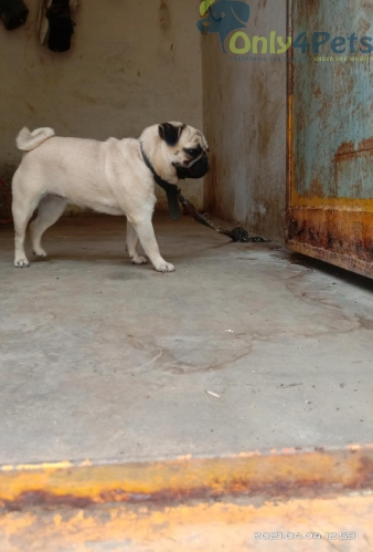 Pug male and female puppies