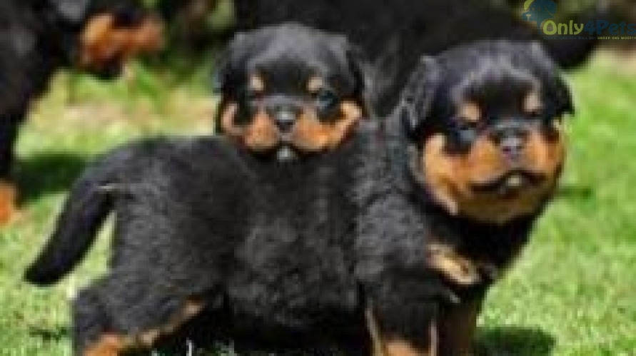 1month ROTTWEILER PUPS FOR SALE