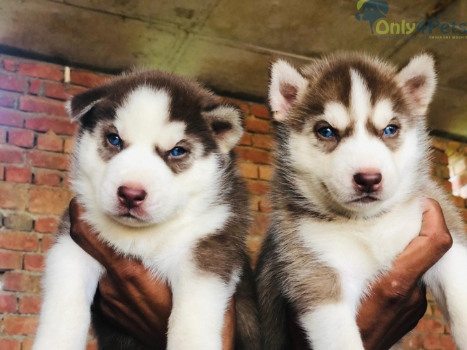 Siberian husky 4 male available ultimate quality