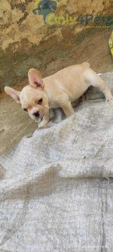 French bulldog littre available