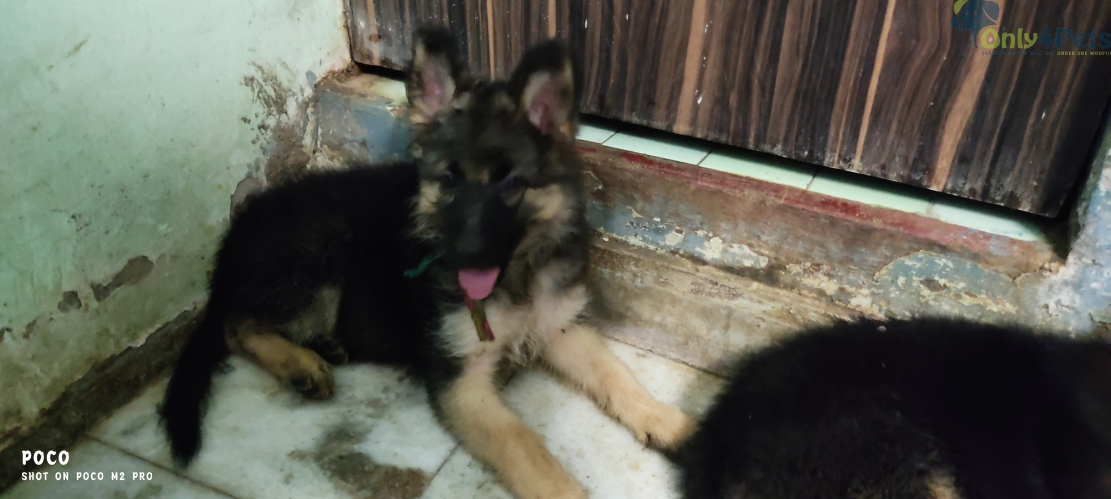 1.5 months old pure jermen bread females