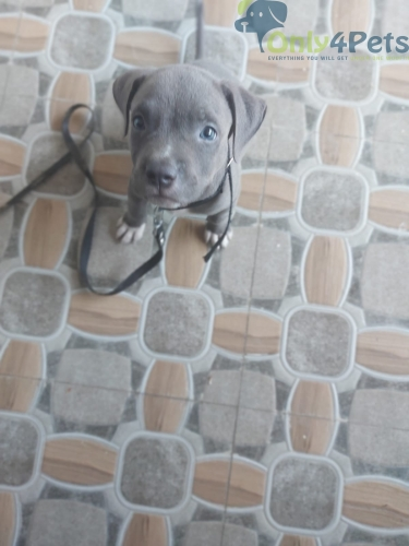 American bully sale Sale male blue ayes