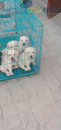 Lab pup sale 2 male 2 female ????