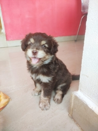 Lhasa apso puppy for sale