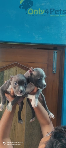American Bully Pocket size Puppy Male Available.