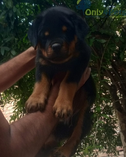 Top quality Rottweiler puppy available Age 45 days