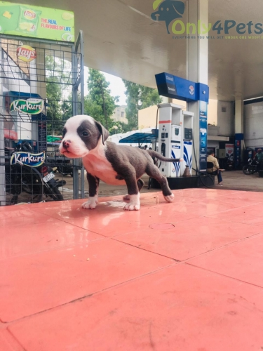 Am bully male pup available
