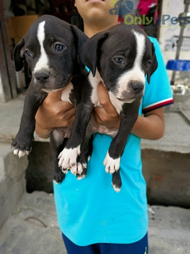 Am.pitbull Puppies For Sale