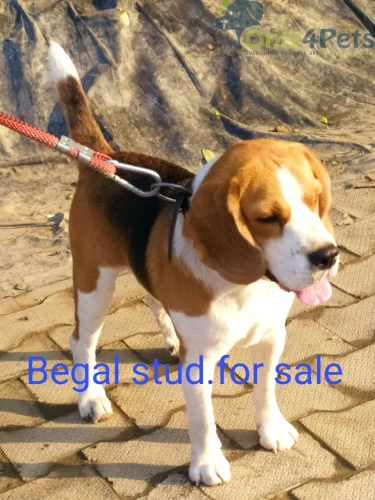Top quality begal stud for sale