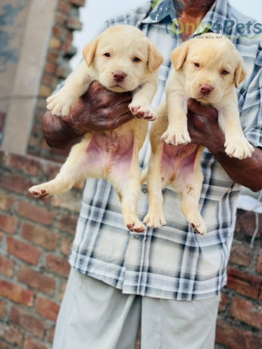 TOP QUALITY LABRADOR GOLDEN  7 MALE FULL HEALTHY PUPPY AVAILABLE