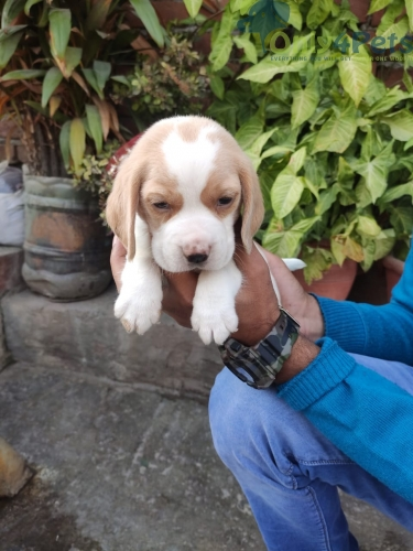 lemon Beagle  for sale