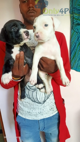 Full show quality pocket size am bully  puppy