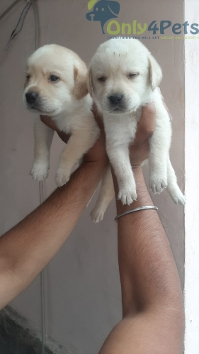 Good Quality Labrador Puppies available for Sale. Full active and healthy pups