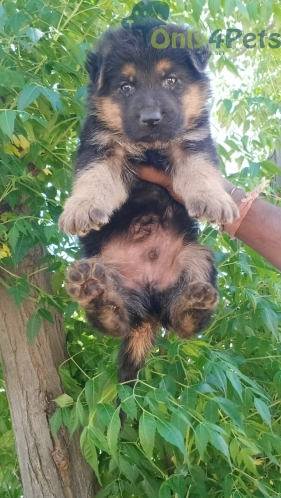 Top qulty gsd male for sale