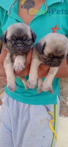 Pug male female puppies are available for sale