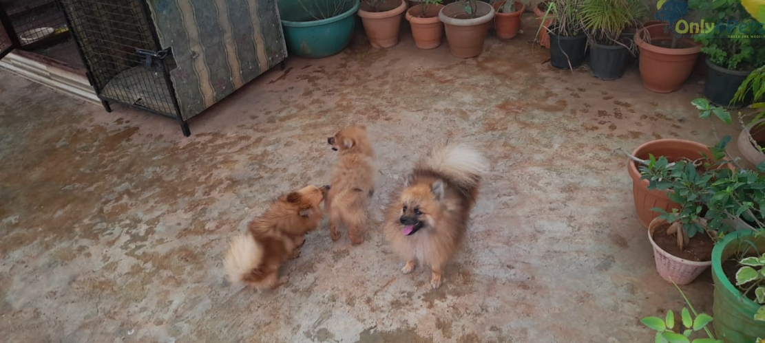 Mini pom 3 females and one male available for sale