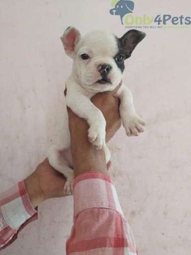 Top quality french bulldog black and white male puppy