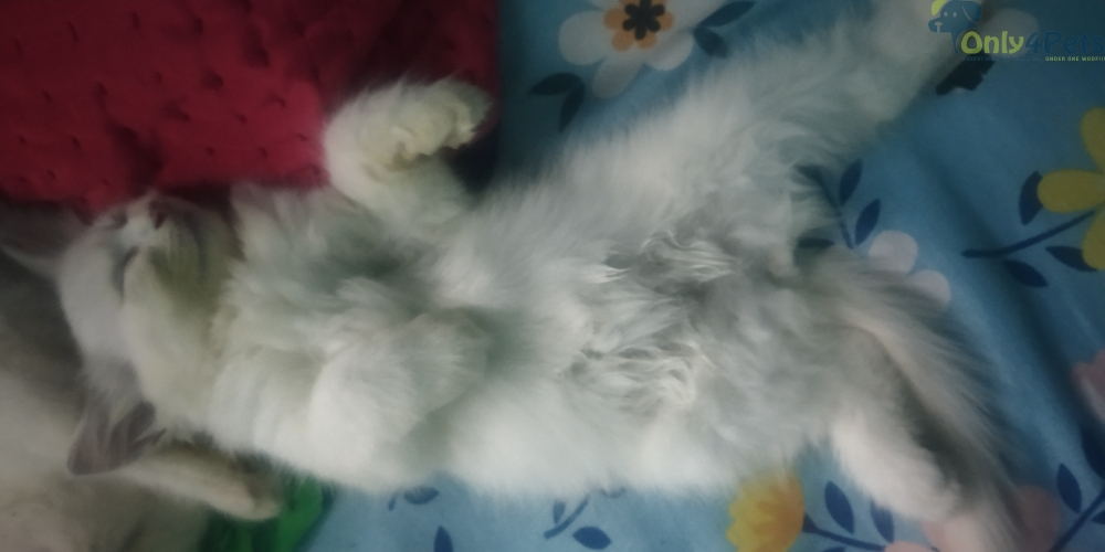Persian kittens Full White male and female 2 months old