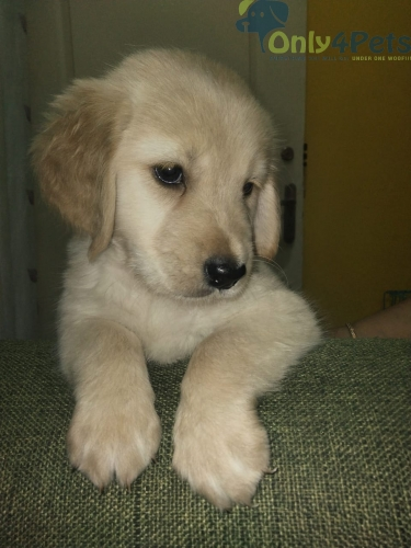 Show quality golden retriever puppies available for sale