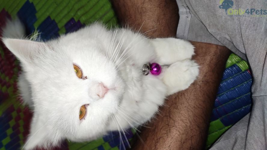 Doll Face white male persion cat for sale