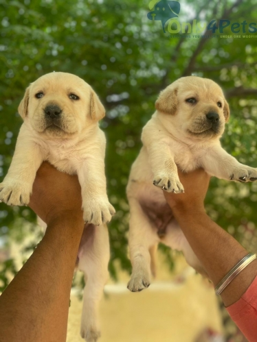 golden lab for sale