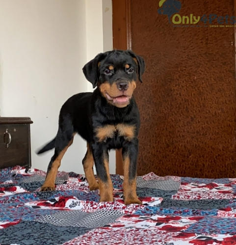 rot for sale Female available with KCI